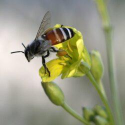 abeille qui pollenise